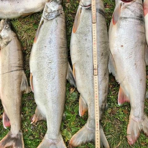 Bild 1: Die gefangenen Kanadischen Seeforellen wiesen eine Grösse von bis zu 74cm auf. Alle Tiere waren sehr wohl genährt und in bester Verfassung.. Vergrösserte Ansicht