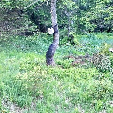 Bild 1: Wolf an einer Salzlecke im Gebiet Dachegg, Nesslau. Vermutlich das Tier, welches sich zurzeit im Grenzgebiet AI/AR aufhält. Foto mittels Fotofalle: Urban Gämperle. Vergrösserte Ansicht