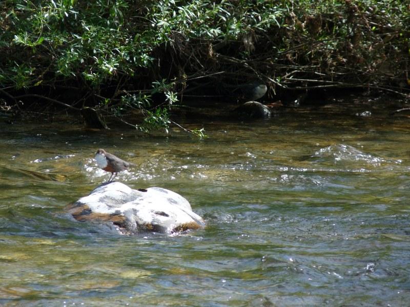 Eine Wasseramsel an der Sitter. Bild: Simona Iadarola