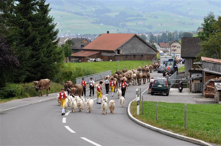 Alpabfahrt mit Verkehr