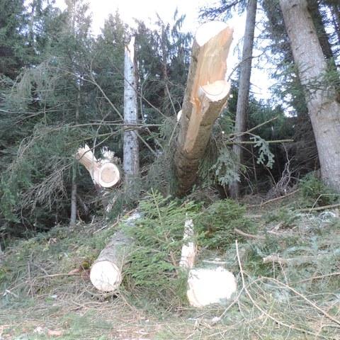 Bild 2: Im «Schneggenberg» mussten teils gebrochene, teils mit dem Wurzelteller geworfene Fichten auf verschiedenen Höhen über Boden abgesägt werden, um die Waldstrasse wieder befahrbar zu machen. Das ist eine sehr gefährliche Arbeit, die viel Erfahrung und Respekt vor den Gefahren erfordert.. Vergrösserte Ansicht
